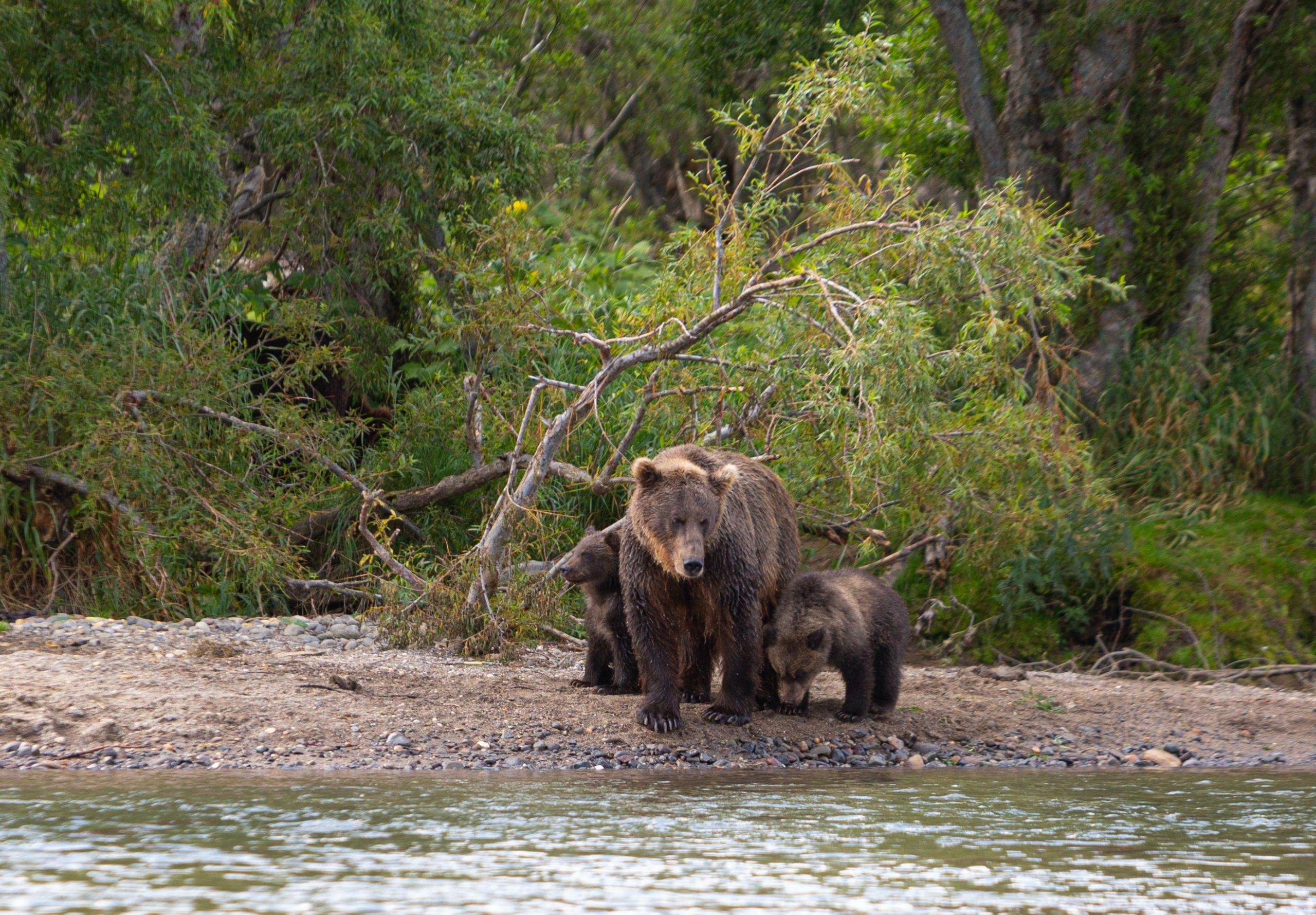 Kijk welke meest verbazingwekkende dingen de moeder beer doet terwijl vissers haar welpen redden